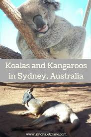 adventures of the little koala meeting a koala and kangaroo in sydney australia