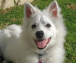 american eskimo dog puppies near me kanu the american eskimo dog puppies daily puppy