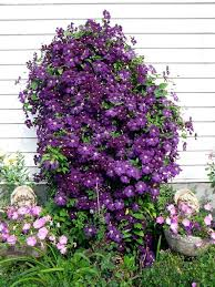 Support For Climbing Plants - tips for planting care and cutting clematis climbing plants