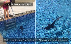 swimming pools who put a live shark in this florida swimming pool sharks earth