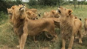 lion leap of faith animals gone wild video nat geo wild