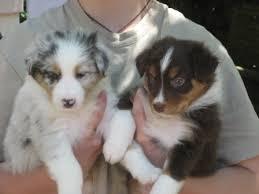 australian shepherd 1 jahr kaufen australian shepherd hunde geplante würfe