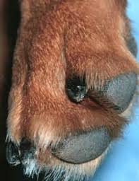 clipping a dog u0027s claws toenails