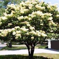 best 25 japanese lilac tree ideas on japanese lilac