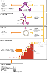 the 25 best electron transport chain ideas on pinterest