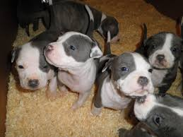 american pitbull terrier kennels in arizona just 4 puppies left american staffordshire terrier puppies for