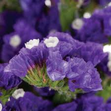 statice flowers culture statice purplish blue flower