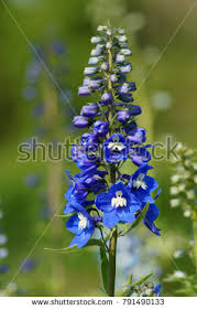delphinium flower delphinium stock images royalty free images vectors