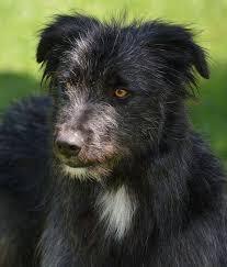 australian shepherd 1 jahr alt tierschutzverein europa