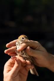 wood thrushes connect bird lovers across borders audubon