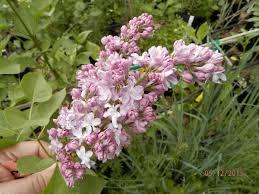 crop 069 u0027sombreuil u0027 china hybrid climbing tea rose parks
