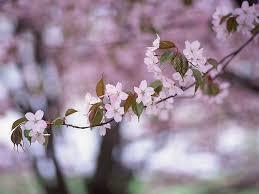 cherry tree cherry blossom japanese cherry blossom
