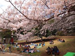 cherry blossom saturday mitsuike koen inokashira park yoyogi