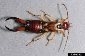 earwigs how to get rid of kill u0026 control earwig bugs
