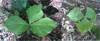 native american plants used for medicine jane u0027s plants in the field brian altonen mph ms
