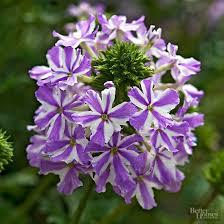 verbena flower 101334900 jpg rendition largest jpg
