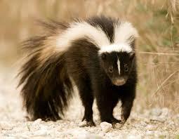 striped skunk mdc discover nature