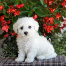 bichon frise jack russell for sale bichon frise purebred puppy litters for sale in hoobly classifieds