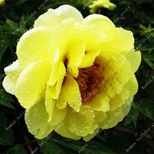 yellow peonies zlking 10pcs yellow peony seeds real japanese plants peonies tree