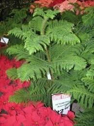 Low Light Indoor Trees The Norfolk Island Pine A Living Christmas Tree Dave U0027s Garden