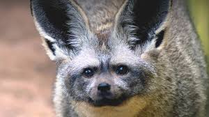 bat eared fox san diego zoo animals u0026 plants