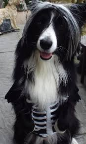 beautiful border collie in halloween costume asha the border