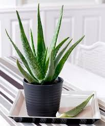 Plant For Bedroom 14 Best Houseplants For A Restful Sleep Balcony Garden Web