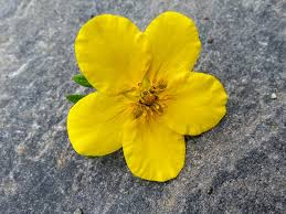 Yellow Flower - free photo yellow flower yellow flower free image on pixabay