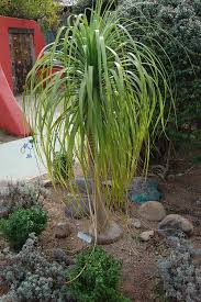 pony tail palm google search garden ideas pinterest