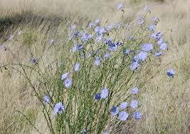 native plants albuquerque linum lewisii wikipedia