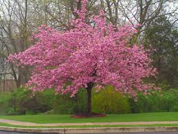 cherry blossom trees are blooming now brighter blooms nursery