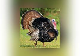 turkey a bird or a nation everything after z by dictionary