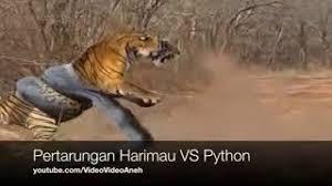 film ular phyton luar biasa pertarungan antara anaconda vs buaya youtube