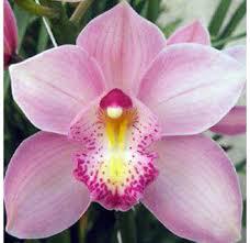 cymbidium orchid fresh cut orchids wholesale orchid bulk dendrobium orchids
