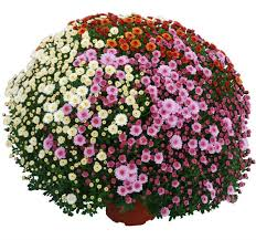 Picture Of Mums The Flowers - mum u0027s the word secrets of hardy mums van putte gardens