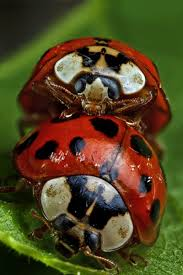 all you need to know about ladybugs poisonous