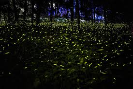 How Do Fireflies Light Up Illuminating The Life Of A Firefly How And Why Does A Firefly