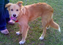 australian shepherd b c malibu the golden bc pup adopted the dog liberator