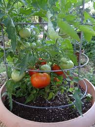 Growing Basil Bonnie Plants by How To Grow Tomatoes In Weather Bonnie Plants