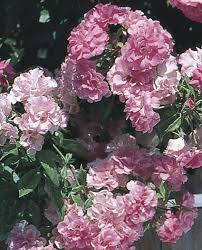 roses china weeping china doll polyantha