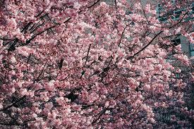 blossom trees cherry blossom trees free stock photo