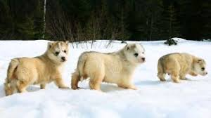 american eskimo dog price in kolkata dear indian dog owners saint bernards and huskies do not belong