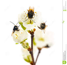 Flowers Bees Pollinate - group of bees pollinating a flower apis mellifera isolated on