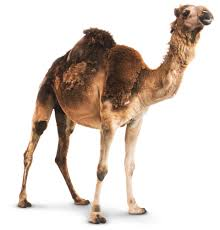 camel facts for kids fun facts about camels dk find out