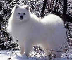 american eskimo dog apartment american eskimo dog webvet