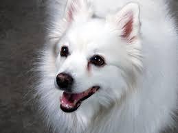 american eskimo dog food tear stains american eskimo dogs tear stained eyes eskie