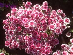 organic edible flowers byron bay organic produce