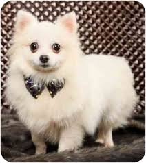 american eskimo dog or japanese spitz amy japanese spitz adopted dog encino ca spitz unknown