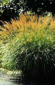 a gallery of ornamental grasses and grasslikes