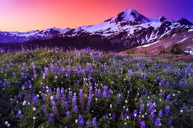 volcano flowers volcano and flowers in stunning color stock photo image of